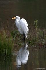Egret (JSB PHOTOGRAPHS) Tags: dsc7490 copy whiteegret egret deltaponds eugeneoregon nikon recreation water pond v2 200500mm nikon200500mmafsgf56evr