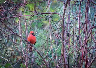 Male Cardinal in Red-twig Dogwood - EXPLORED 12-7-17 #319
