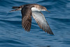 yelkouan shearwater (leonardo manetti) Tags: uccello mare acqua oceano animale wild nature wildlife animal animals bird birds nikon d500 ocean sea water blue color colors fly flight birdwatching ornithology