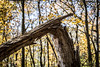 Timber! (Phil Roeder) Tags: iowa polkcounty jesterpark tree woods forest fallen fall autum canon6d canonef70200mmf4lusm