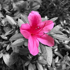 """""""If the path before you is clear, you're probably on someone else's."""" ―Joseph Campbell 🌸 (anokarina) Tags: appleiphone7 kentacres delaware de pink flowers blossoms blooms colorsplash spring summer"""