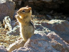 Golden Mantled Squirrel (dinannee) Tags: