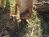 No You Cannot Have That Foot (EX22218 - ON/OFF) Tags: hoof leg foot fawn deer dog conservation louisville kentucky