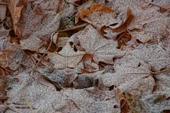 When Fall Didn't Finish, and Winter Didn't Start (Sergei P. Zubkov) Tags: maple leaves autumn november terijoki