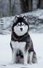 2017-12-14_03-33-52 (baselabdelal) Tags: dog husky siberian snow netherlands amsterdam holland huskies dogs animal wolf eyes winter nikon d7200 photography