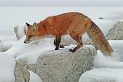 Snow Princess (marylee.agnew) Tags: red fox snow cold december vulpes canine wildlife nature outdoor hunting