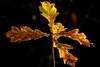 The last Autumn leaves (FotoCorn) Tags: leaf tuin autumn macro fall leaves herfst