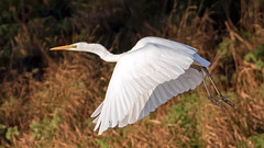 Great White Egret (NickWakeling) Tags: greatwhiteegret egret canonef400mmf56lusm canoneos7dmarkii holkhampark holkham norfolk nature northnorfolk wildlife bird flight