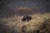 Siblings (wyrickodiak_9) Tags: kodiak alaska brown bear grizzly ursus mammal wildlife island fishing cubs