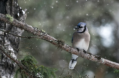 Blue Jay in a Squall (rmikulec) Tags: blue jay snow branch tree bird wild wildlife nature winter squall flurry weather cold pine bokeh cyanocitta cristata algonquin park province ontario canada