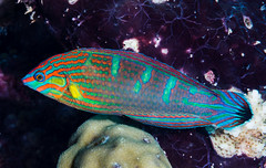 Pinstriped Wrasse, terminal phase - Halichoeres melanurus (zsispeo) Tags: actinopterygii halichoeres labridae osteichthyens perciformes teleostei melanurus scuba diving tropical reef fish underwater macro macrophotography sea ocean holidays vacation summer beach relaxation coral fauna wildlife wild science taxonomy travel sustainable life aquatic beautiful nature animal biology id identification souvenir living favorite natural rare saltwater turquoise blue conservancy quality escapade tourism wet outdoors wrasse bohol philippines