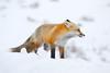 _MG_7222 (JasonA620) Tags: redfox wintercoat snowfox foxinsnow yellowstone snow winter fox windblown yellowstonenationalpark nationalpark wildlife animal