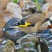 _W4A0346 European Goldfinch (Carduelis carduelis)