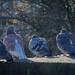 York - feral pigeons