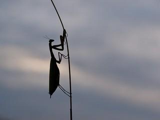 PA170495 - Praying mantis - Mante religieuse