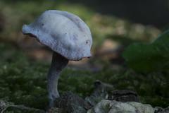Amethistzwam (wietsej) Tags: amethistzwam bulskampveld beernem belgie rx10 rx10m3 rx10iii 111 mushroom fungus paddestoel nature macro bokeh