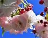 186. PAINTERLY 11 : Sakura Maiden's Blush (Meili-PP Hua 2) Tags: blossom petals flower flowers buds stamens stamen pistil bloom stalks pink pinkish blush flora mlpphflora mlpphsakura mlpphnature lilac pastel pale pastels macro nature blooms