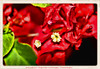 Bougainvillea - a flower within a flower! (NancySmith133) Tags: bougainvillea centralfloridausa winter painterly