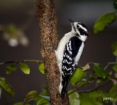 Downy Woodpecker (jt893x) Tags: 150600mm bird d500 downywoodpecker jt893x male nikon nikond500 picoidespubescens sigma sigma150600mmf563dgoshsms woodpecker