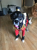 "Ring master costume ""KALI"" (belladoggieetsy) Tags: dogcostume petcostume dogclothes petclothes doghallowen pethalloween halloweencostume halloweencostumeforpets halloweencostumefordogs ringmastercostumefordog circuscostume circuscostumefordogs"