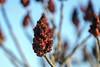 Staghorn Sumac (Rhus typhina) (qurlyjoe) Tags: sumac staghornsumac
