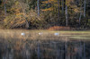 """Down by Harlow Brook"" (Photography by Sharon Farrell) Tags: swan muteswan threeswans parkermillspond wankincoriver harlowbrook misty mistywaters autumnmist autumnmorning autumncolors reflections reflection waterreflection pondsofmassachusetts massachusetts wareham warehammassachusetts tihonetroad warehamma plymouthcounty plymouthcountyma"