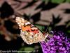 DSCN2761 Painted Lady - underside (fabHappySnapper) Tags: buddleia paintedlady underside