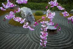 Sakura in Kyoto (DanÅke Carlsson) Tags: japan japanese sakura kyoto cherry blossom pink rock garden hanging