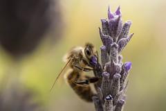 Australian Bee (Schlingshot Photography) Tags: bees bee lavender honeybee tonykemp schlingshot fauna australianfauna insect macro