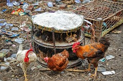At the live chicken market (Pejasar) Tags: india newdelhi cages chicks chickens market