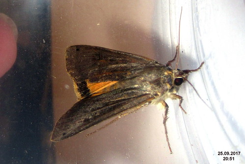 Large yellow underwing (sw)