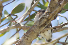 Leaden Flycatcher - It's fledging time! (petefeats) Tags: australia birds brisbane leadenflycatcher monarchidae myiagrarubecula nature passeriformes queensland sandycamproadwetlands wynnum chicks justfledged nest