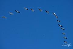 Pelican Formation (dcstep) Tags: dsc4111dxo cherrycreekstatepark colorado usa aurora sonya9 fe100400mmf4556gmoss fe14xteleconverter allrightsreserved copyright2017davidcstephens dxophotolab101 nature wild urban urbannature formation c cformation pelicans americanwhitepelican flight bif birdinflight flying fly