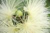 Bud and Bloom (Meu :-)) Tags: syzygiumjambos flickrfriday opposites bloom bud flowerbud lifecycleinnature