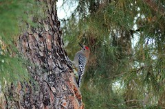 Gila Woodpecker (steve_scordino) Tags: arizona phoenix bird