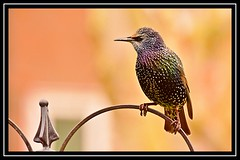 """Starling Somewhat Spiky..."" (NikonShutterBug1) Tags: nikond7100 tamron70300mm birds ornithology wildlife nature spe smartphotoeditor birdfeedingstation bokeh starling birdsfeeding 7dwf"