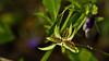 Violet's Seed Pod (Bob's Digital Eye) Tags: 2017 bobsdigitaleye canon canonefs55250mmf456isstm depthoffield garden macro plant seedpods seeds t3i