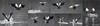KUS_-9346 (Weinstöckle) Tags: vogel nilgans enz flug