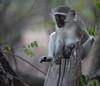 Vervet Monkey (Mike/Claire) Tags: vervetmonkey 2016 southafrica tandatula timbavati