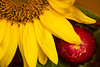 Two Summer Flowers (San Francisco Gal) Tags: sunflower strawflower flower fleur bloom blossom macro red yellow