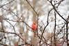 Cardinal (thoth1618) Tags: ny nyc newyork newyorkcity brooklyn botanic garden bbg brooklynbotanicgarden red bird cardinal cardinaliscardinalis northerncardinal redbird commoncardinal fall tree trees photooftheday autumn november 2017