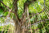Tree (jefferson_pitt) Tags: hawaii maui nature canon 6d 24105l green