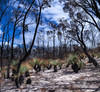 Recovery (Alien Shores Imagery) Tags: bushfire17 jervisbay booderee grasstree nationalparks murraystrack