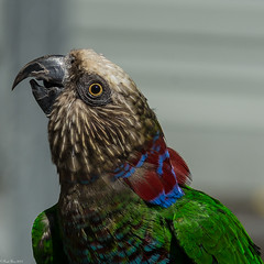 Another looker (Explored) (Fred Roe) Tags: nikond7100 nikkorafs80400mmf4556ged nikonafsteleconvertertc14eii nature birds parrot