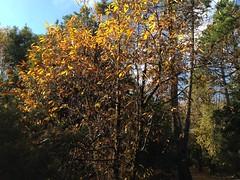 28 (emmess2) Tags: campiglia cinqueterre spezia autumn fall leaves