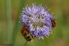 Friedliches Beieinander (Oerliuschi) Tags: käfer insekten tiere animal insect natur blüte