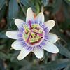 Passiflora - Fiore della passione (Gabriele Gentili) Tags: passiflora fioredellapassioneopenflower flowerpassion
