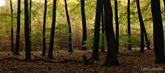 Dansende bomen/Swinging beams (roelivtil) Tags: autumn forest lensbabyedge80 nature speuldersbos trunks veluwe bomen the netherlands landscape 7dwflandscape