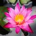 Water Lily @Koloa Jodo Mission