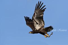 Haliaeetus leucocephalus, Φαλακρός Αετός, Bold Eagle (belas62) Tags: ngc bird eagle bif αετόσ σπάτα greece raptor αττικόπάρκο
